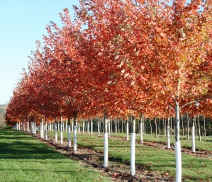 Maples with tree guards