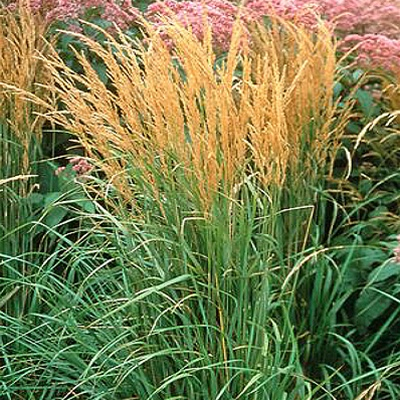 Ornamental grasses plant of the month january for Decorative tall grass plants
