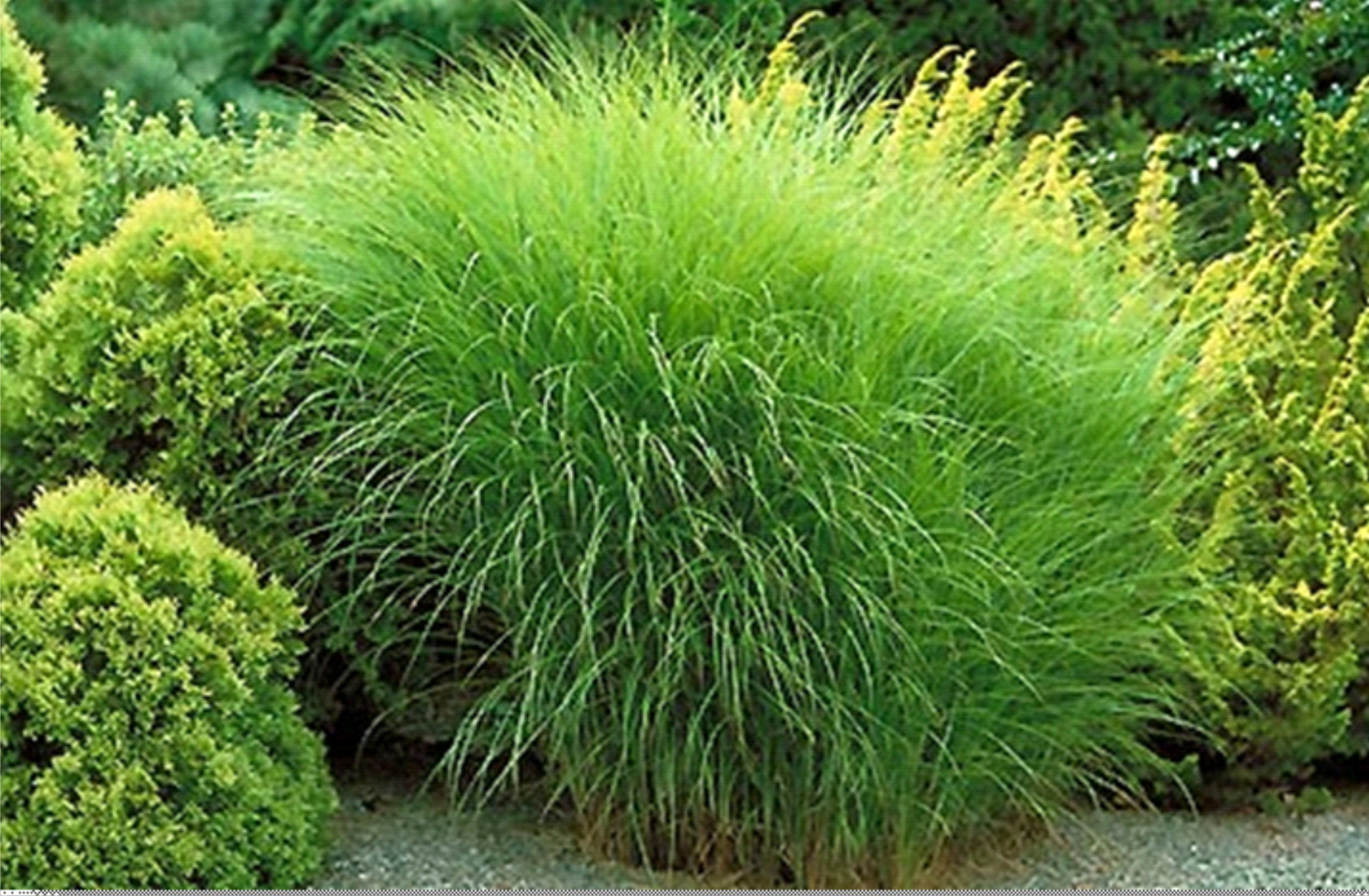Ornamental grasses plant of the month january for Long grass landscaping